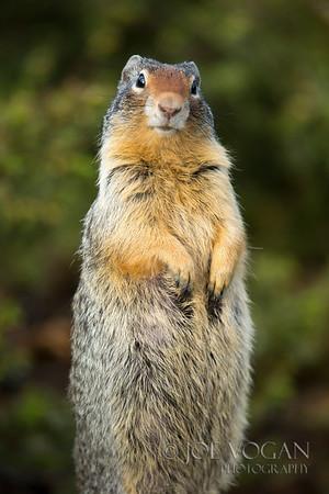 Columbian Ground Squirrel, Banff National Park, Alberta, Canada