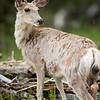 Mule Deer, Banff National Park, Alberta, Canada