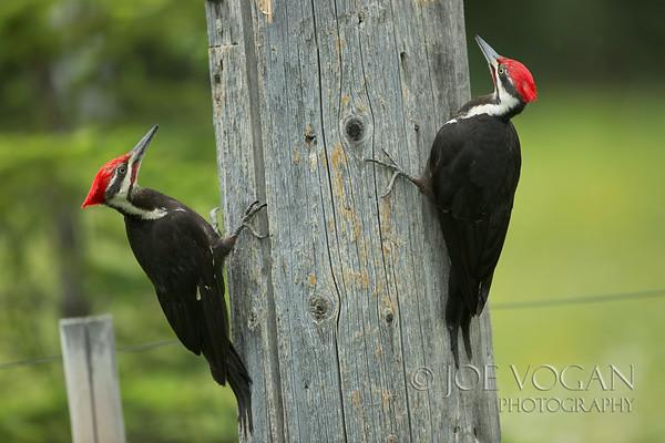 Pileated Woodpecker, Golden, British Columbia, Canada