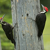 Pileated Woodpecker, Golden, British Columbia, Canada