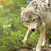 Gray Wolf, British Columbia, Canada