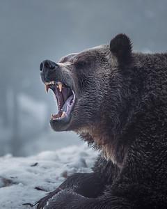 Ursus arctos horribilis