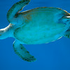Sea Turtle, Curacao