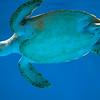 Sea Turtle, Curacao