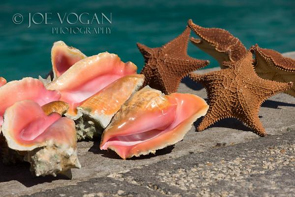 Conch Shells, New Providence Island, Bahamas