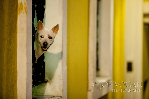Dog Looking out Window, Old San Juan, Puerto Rico