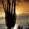 Cactus, Aruba Coast