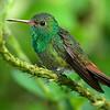 Rufous-tailed Hummingbird, Arenal, Costa Rica