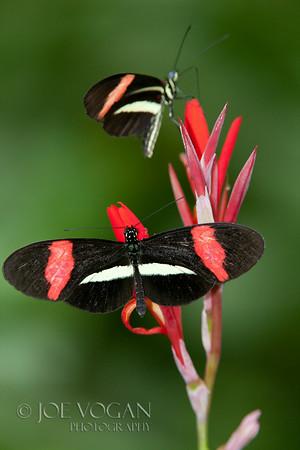 Heliconius erato petiverana Butterfly, Arenal, Costa Rica