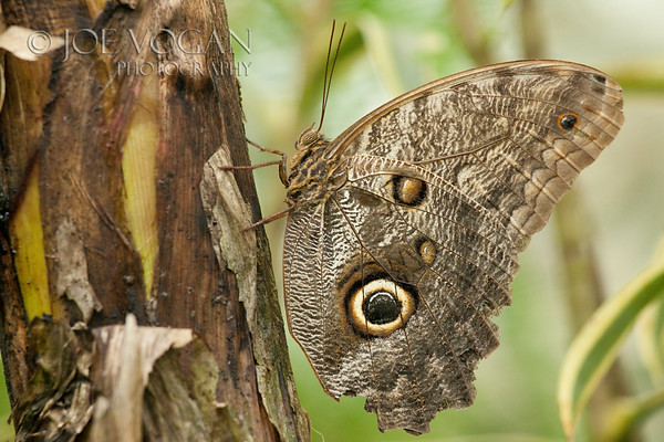 Owl Eye Butterfly, Arenal, Costa Rica