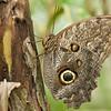 Owl Eye Butterfly, Arenal, Costa Rica