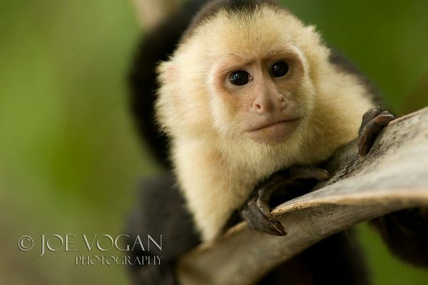 White-faced Capuchin Monkey, Manuel Antonio National Park, Costa Rica