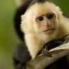 White-faced Capuchin Monkey, Manuel Antonio National Park, Costa Rica