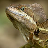 Basilisk or Jesus Christ Lizard, Manuel Antonio National Park, Costa Rica