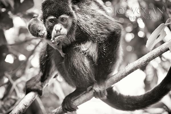 Mantled Howler Monkey, Hanging Gardens, Arenal, Costa Rica