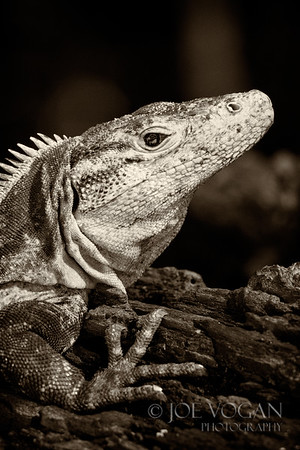 Ctenosaur or Black Iguana, Manuel Antonio National Park, Costa Rica
