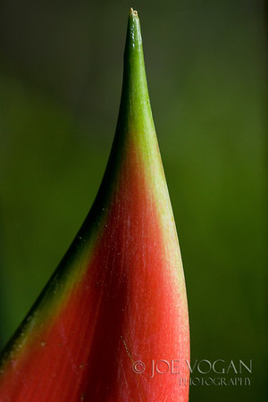 Heliconia Wagneriana Flowering Plant, Arenal, Costa Rica