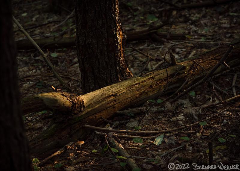 Illuminated Deadwood