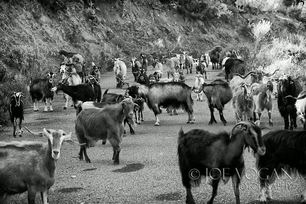 Goats in Road near Dimitsana, Peloponnese, Greece