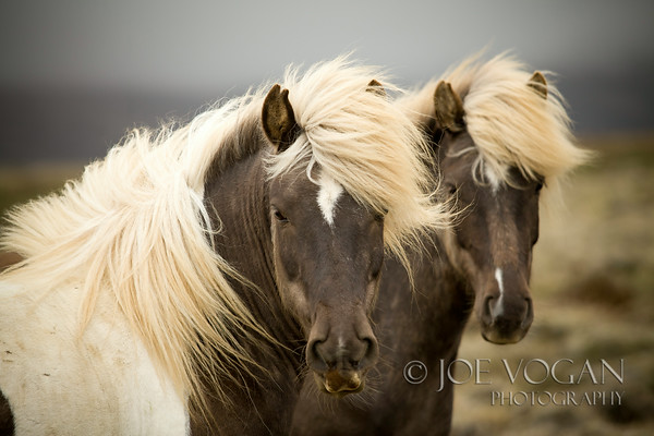 Icelandic Horses, northern Iceland