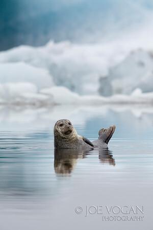 Harbor Seal, Jokulsarlon, southern Iceland