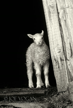 Lamb in doorway, Iceland