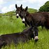Donkey, Western Ireland