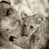 African Lion and cub, Samburu National Reserve, Kenya