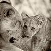 African Lion and cub, Samburu National Reserve, Kenya