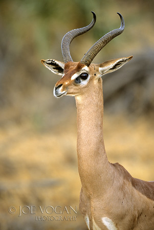 Gerenuk, Buffalo Springs National Reserve