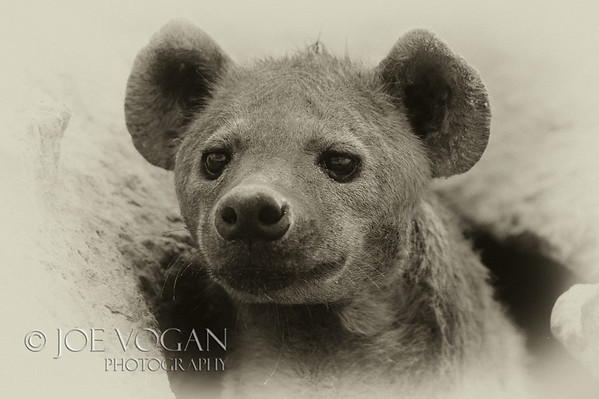 Spotted Hyena or Laughing Hyena, Amboseli National Park, Kenya