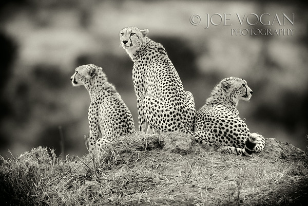 Cheetahs, Nairobi National Park, Kenya