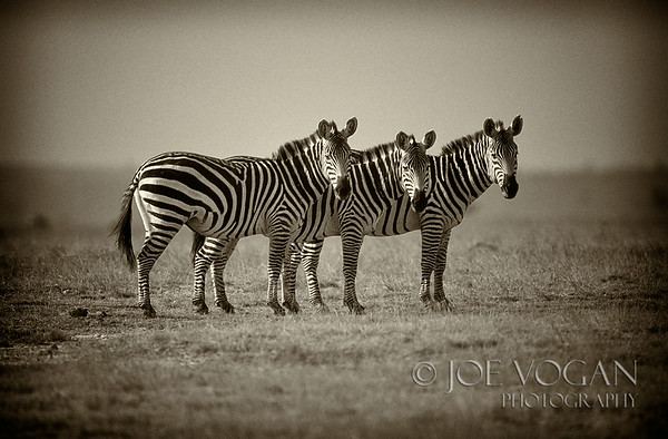 Plains Zebras, Masai Mara National Reserve, Kenya