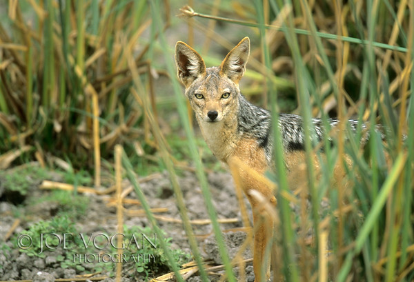 Black-backed jackal, Amboseli National Park, Kenya