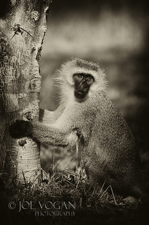 Vervet Monkey, Amboseli National Park, Kenya