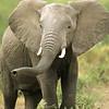 African Elephant, Amboseli National Park, Kenya