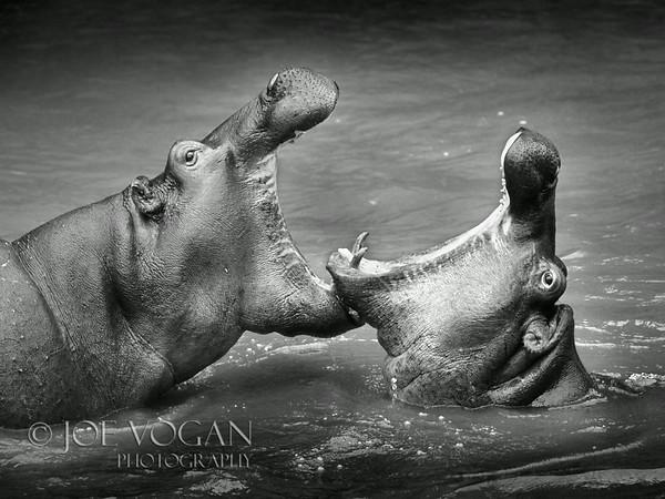 Hippopotamus, Mara River, Kenya