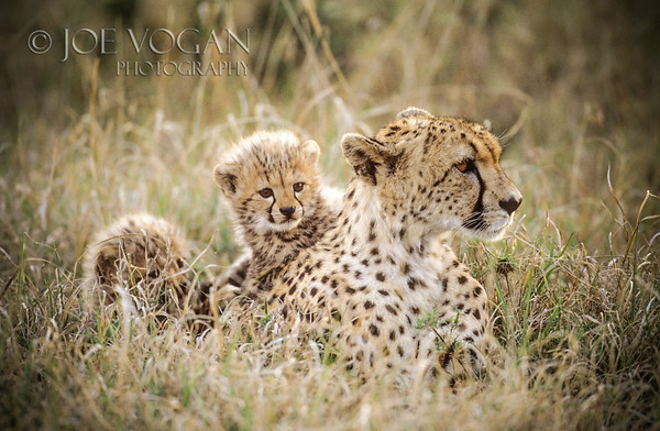 Cheetah and cubs, Masai Mara National Reserve, Kenya