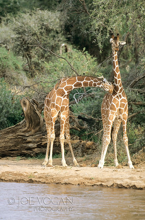 Reticulated Giraffes, Buffalo Springs National Reserve, Kenya