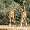 Reticulated Giraffes, Buffalo Springs National Reserve, Kenya