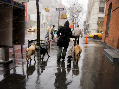 Even in a freak March snowstorm, the dog walker gets the job done