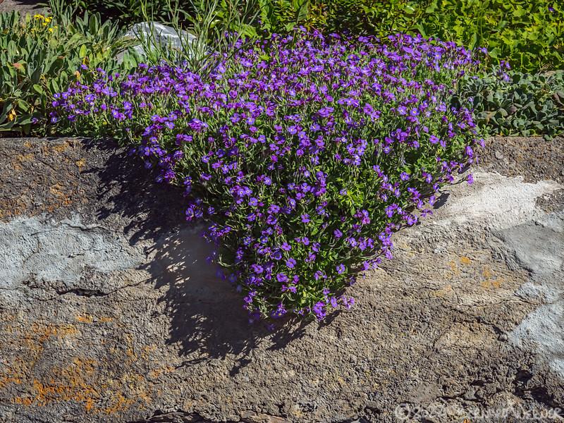 Purple Cascade