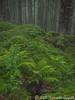 Ferns Along the Ridge