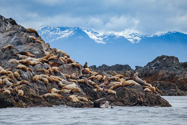 Steller Sea Lions Alaska