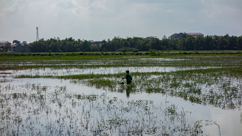 Finding fish in flooded rice fields, Hoi An.