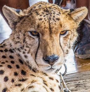 Cheetah ~ Zimbabwe