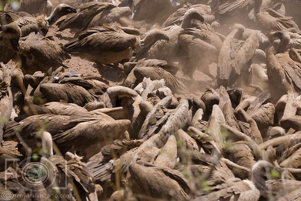 Walking Safari And The Vulture Frenzy