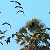 Glossy Ibis in Flight