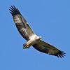 White Beliied Sea Eagle