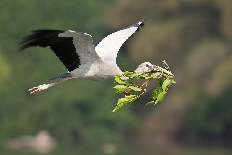 Open Billed Stork, Ranganathittu Bird Santuary Srirangapatna, India
